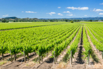 Vineyards in the Alexander Valley region near Healdsburg, California