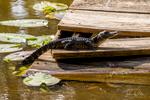 Alligator at Cherry Pocket Steak & Seafood Shak in Lake Wales, Florida