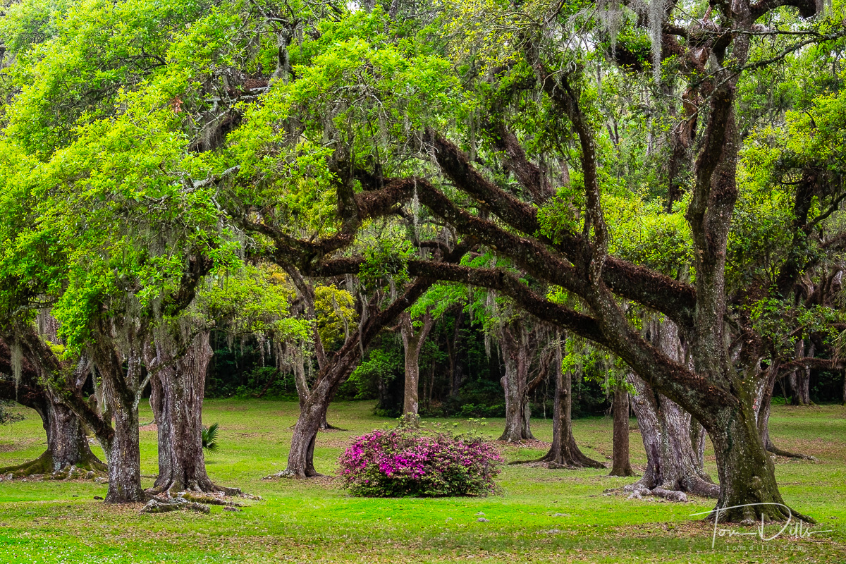 Live Oak at Jungle Gardens, Avery Island, Louisiana