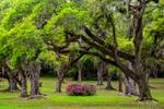 Live Oak at Jungle Gardens, Avery Island, Louisiana