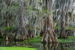 Cyprus trees on Lake Martin during our swamp tour with Cajun Country Swamp Tours