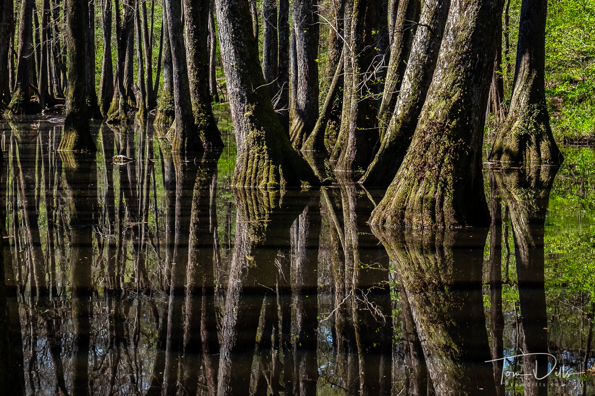 Cyprus trees at the Tupelo-Bald Cyprus Swamp on the Natchez Trace Parkway