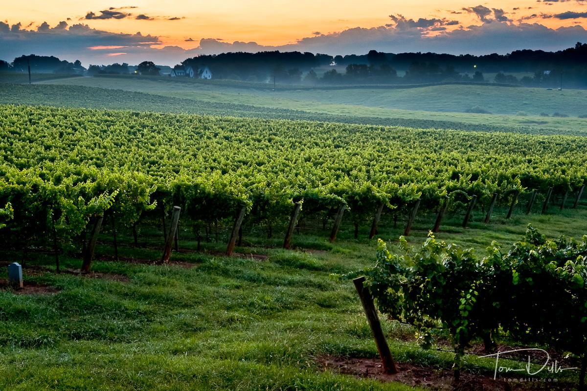 Sunrise over Shelton Vineyards, Dobson, North Carolina