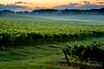 Sunrise over Shelton Vineyards, Dobson, North Carolina