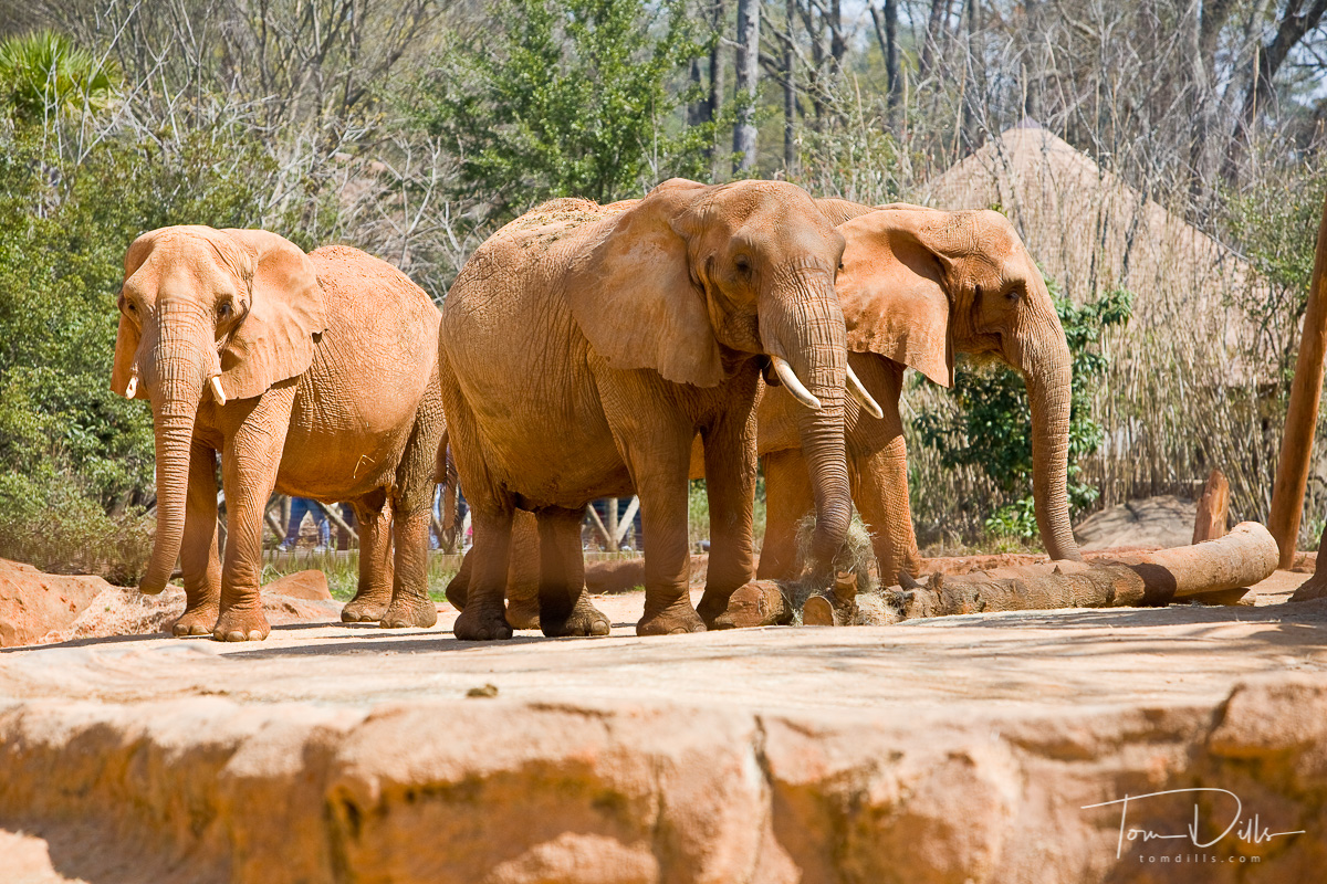 African Elephants in the Ndoki Forest section of Riverbanks Zoo, Columbia, South Carolina