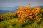 Flame Azalea on Round Bald, Roan Mountain TN