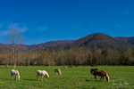 Horses grazing in pasture, Cades Cove, Great Smoky Mountains National Park