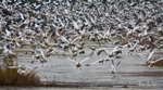 Snow Geese blast-off at Chincoteague National Wildlife Refuge, Virginia