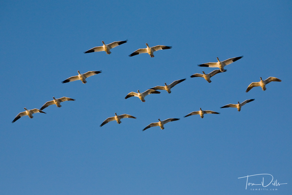 Snow Geese everywhere at Chincoteague Island National Wildlife Refuge, Assateague Island, Virginia
