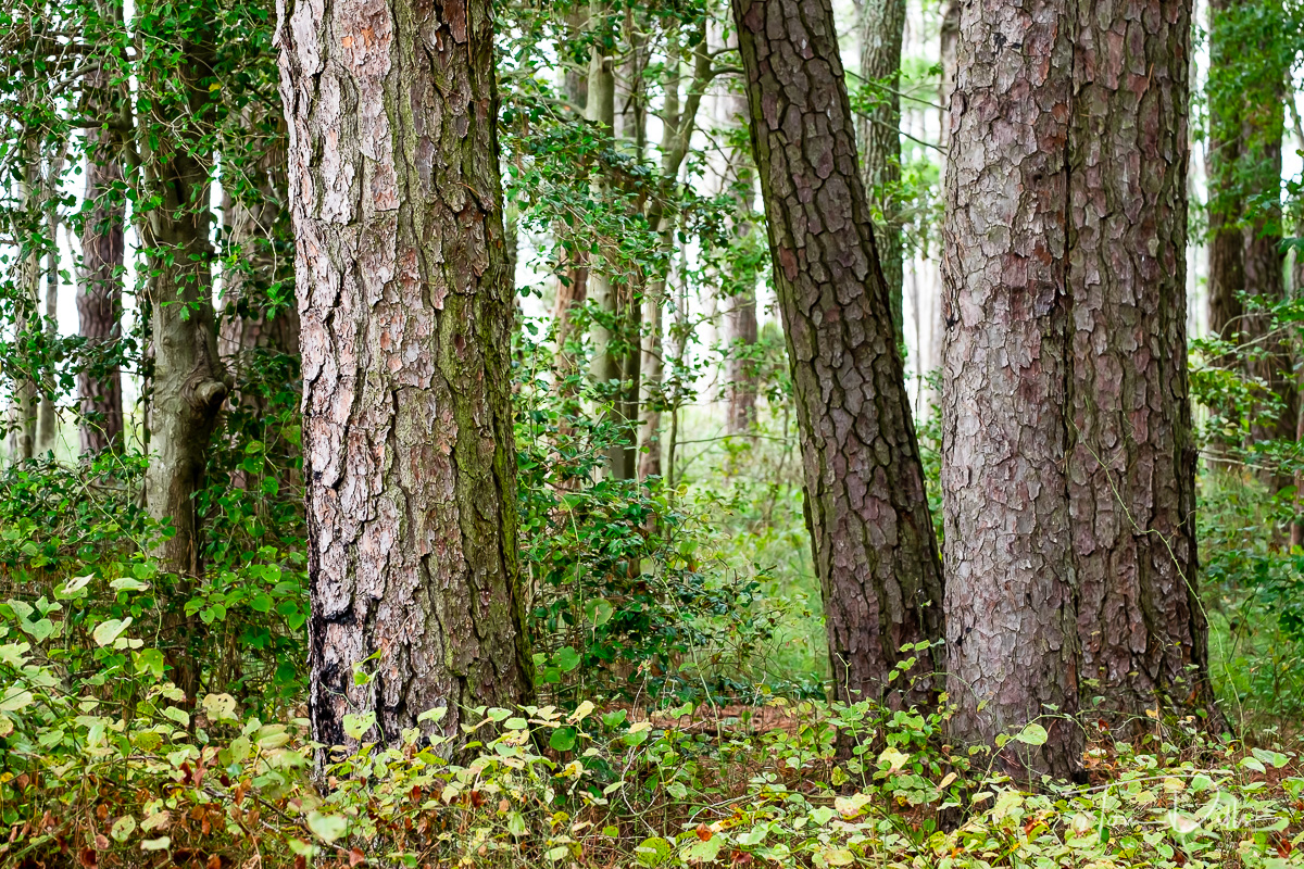 Lodgepole Pine at Blackwater National Wildlife Refuge, Maryland