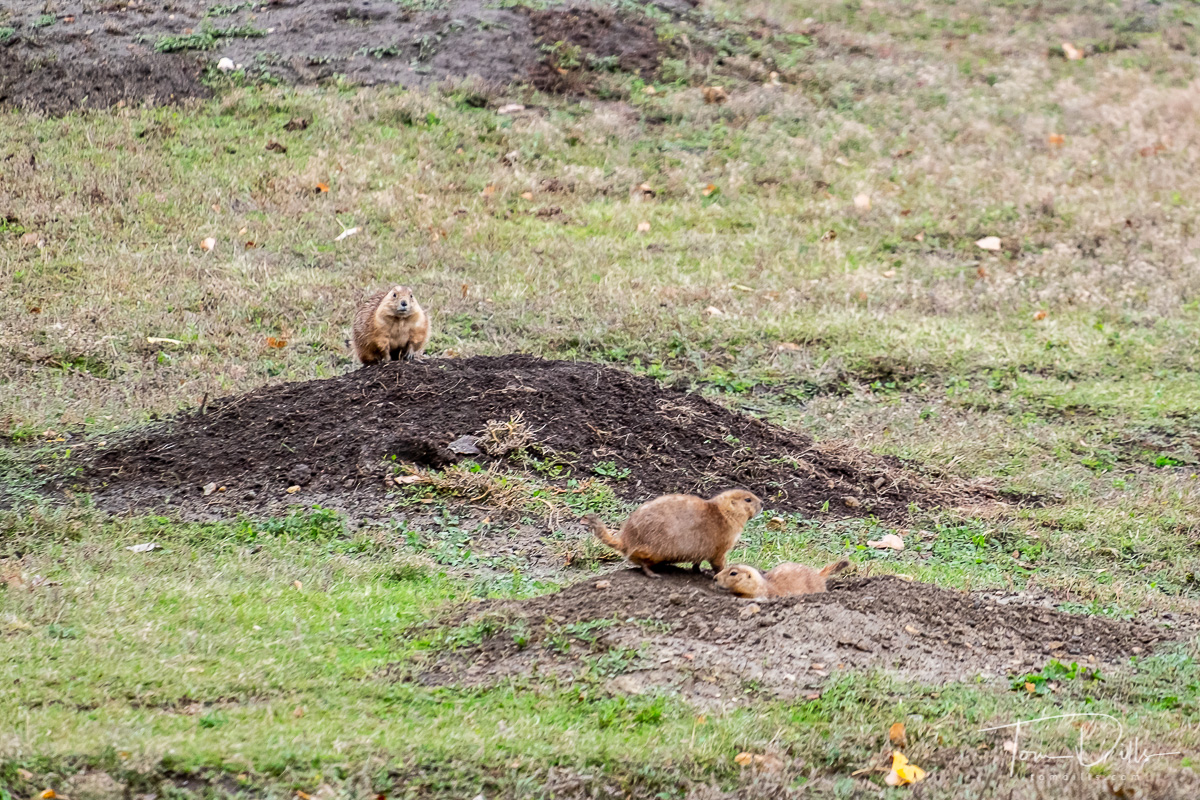 Prairie dogs at Theodore Roosevelt National Park, North Dakota