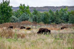 Bison at Theodore Roosevelt National Park, North Dakota