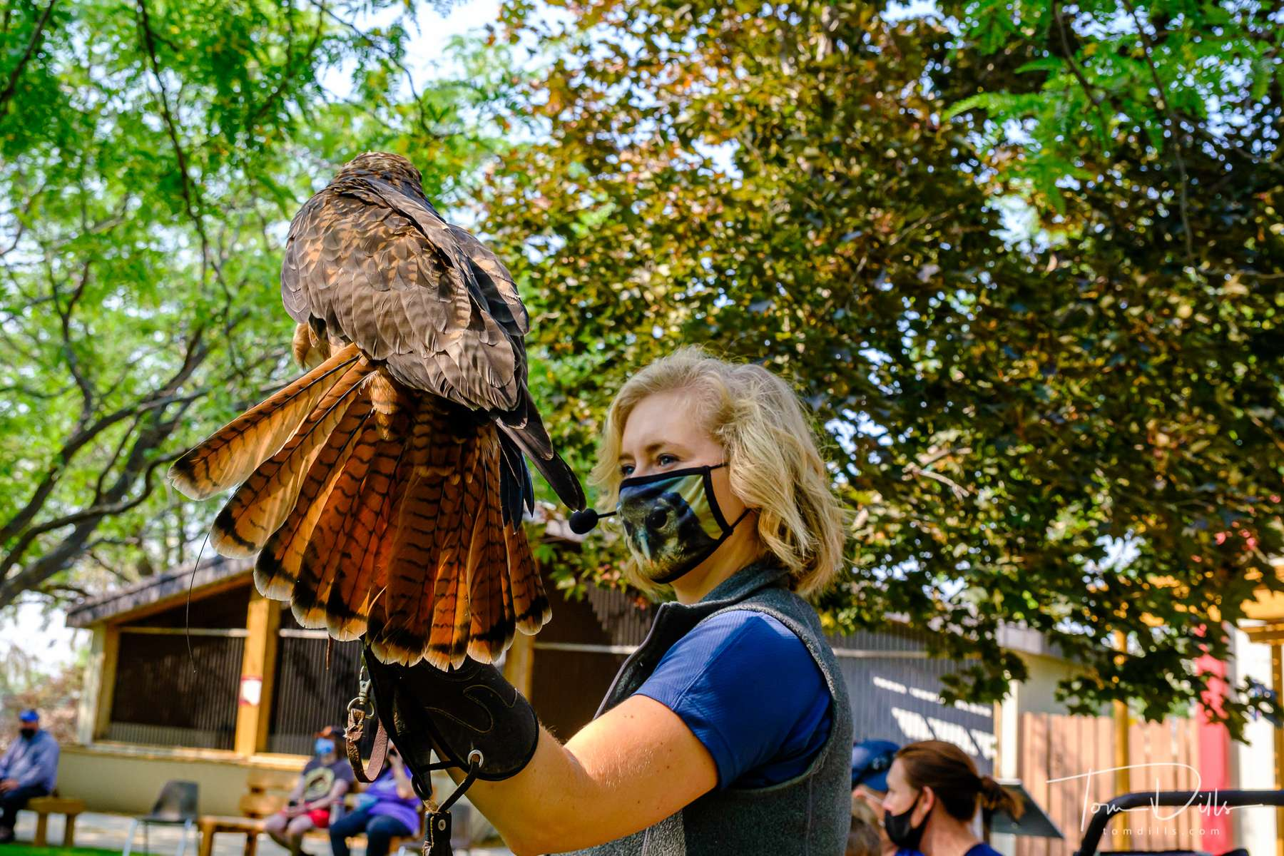 Flight demonstration with Phoenix the Red-tailed Hawk  at the World Center for Birds of Prey in Boise, Idaho