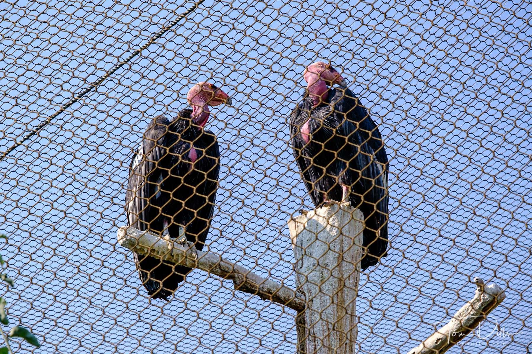 California Condors at the World Center for Birds of Prey in Boise, Idaho