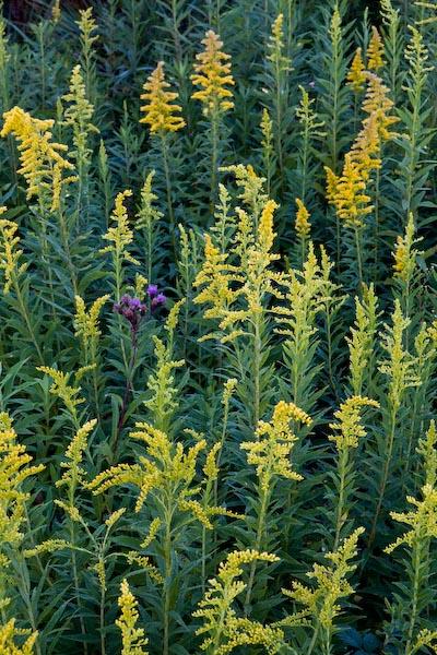 Purple and yellow flowers, Torrence Creek Greenway, Huntersville, North Carolina