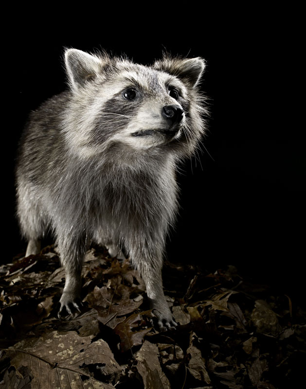 Taxidermy_Racoon_001