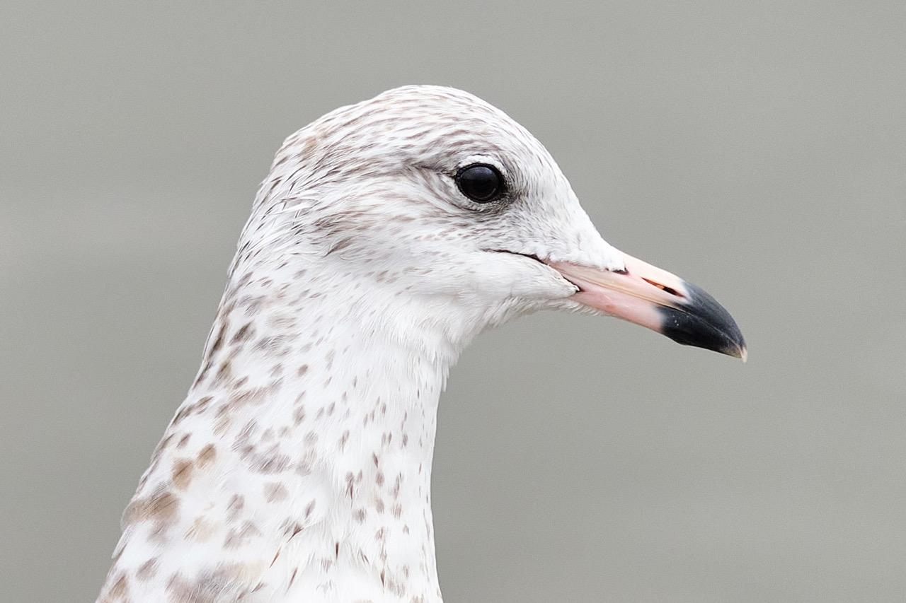 Seagulls w 90mm