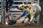 Bo Bacigalupi of Oakdale, California, gets flung off his ride for a no score during Wednesday's Professional Bull Riding event at the Salinas Sports Complex.