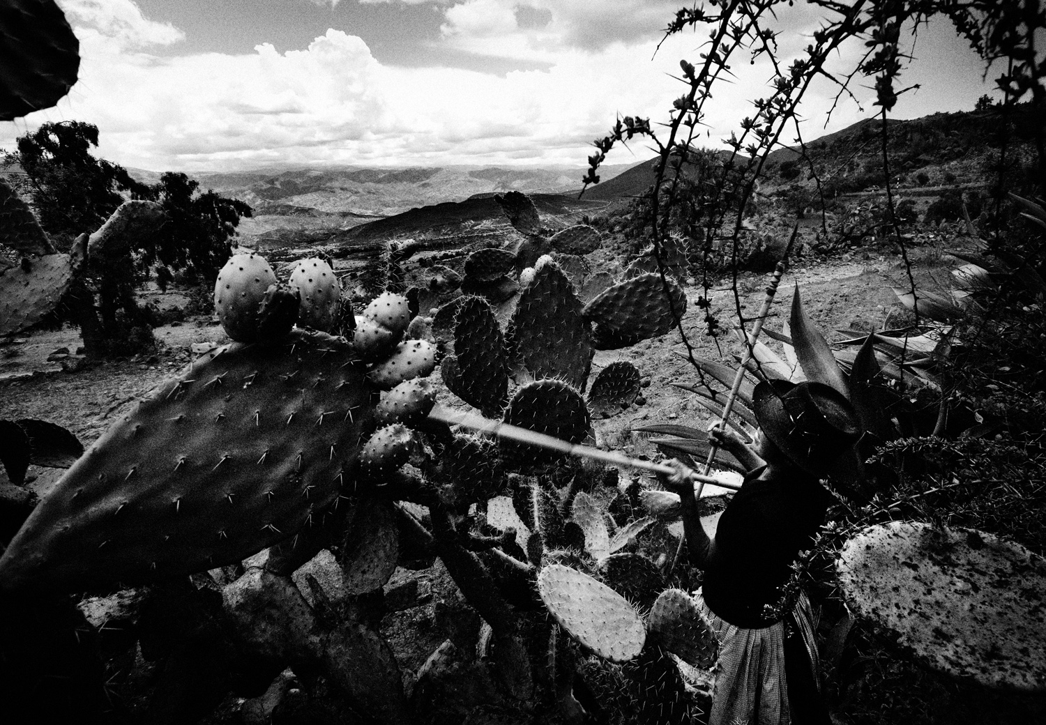 Teofila Huaman Oré works to pick prickly pears from cactus in the mountains above Ayacucho. The fruit, which are sold in towns throughout the Andes, are a staple crop for many too poor to own their own farm.