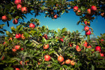 Photograph of an apple orchard during a fall festival near Baltimore, Maryland.