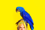 Photographic portrait of an endangered exotic blue Hyacinth Macaw on the head of its owner, Shawn Welling, for Pet Talk Magazine.