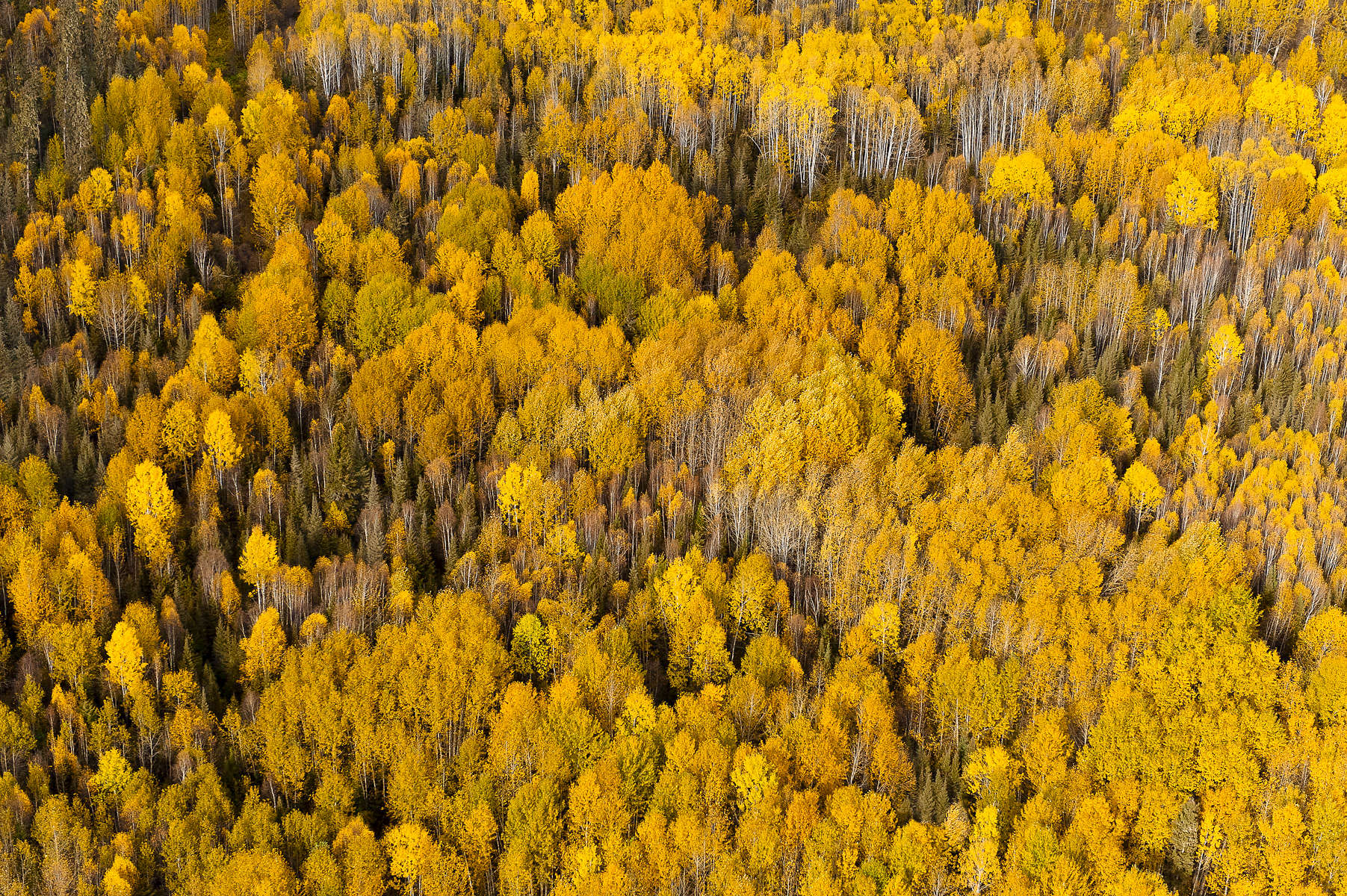 Located immediately adjacent to a massive tar mine, forests and wetlands like this are key habitat for a variety of species. The Canadian Boreal is the breeding ground and nursery for almost half of all bird species found in North America.