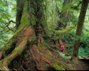 Old Growth Temperate Rainforest,Meares Island, Clayoquot Sound,Vancouver Island,British Columbia.First Nations, with support from local environmentalists, first blockaded on Meares Island in Clayoquot Sound in the mid 80's. A series of blockades followed throughout Clayoquot Sound, culminating in 1993 wuth the largest civil disobedience action in Canadian history. Almost 1000 people were arrested, charged with criminal contempt, and sentenced up to three months in prison.