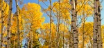 Autumn Aspens, Manitoba