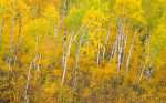 A section of boreal forest in Autumn near the indigenous community of Poplar River. The Natural Resource Defense Council and others are proposing Unesco World Heritage status for this region.Exhibition print:  40{quote}x60{quote} archival pigment print on Hahnemuhle bamboo, bonded to aluminum.