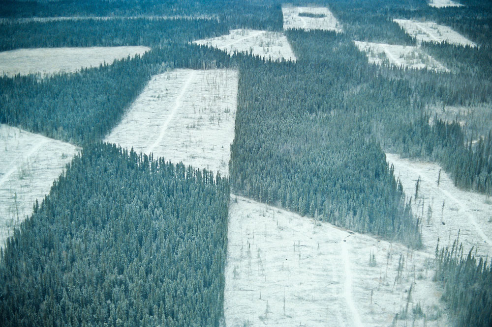 A common feature of the boreal is the site of patchwork logging. Often used as a way to get around clearcut size restrictions, it merely spreads the damage and  fragmentation over a larger area. This particular clearcut is in Wood Buffalo National Park. this is the World's second largest National  Park, and straddles the Alberta/Northwest territories border. The park contains on of the greatest inland deltas - the Athabasca Delta - and is the sole breeding ground for the Whooping Crane. Logging was approved as part of the war effort during the Second World War. The permission to log in a National Park was only terminated in 1992.