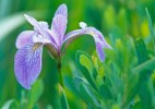 Wild Iris, St. Fulgence Wetlands, northern Quebec.