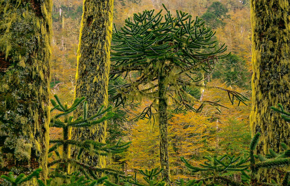 This Araucaria Forest is located in the Cani Sanctuary in the Northern Portion of Chilean Patagonia near the town of Pucon.