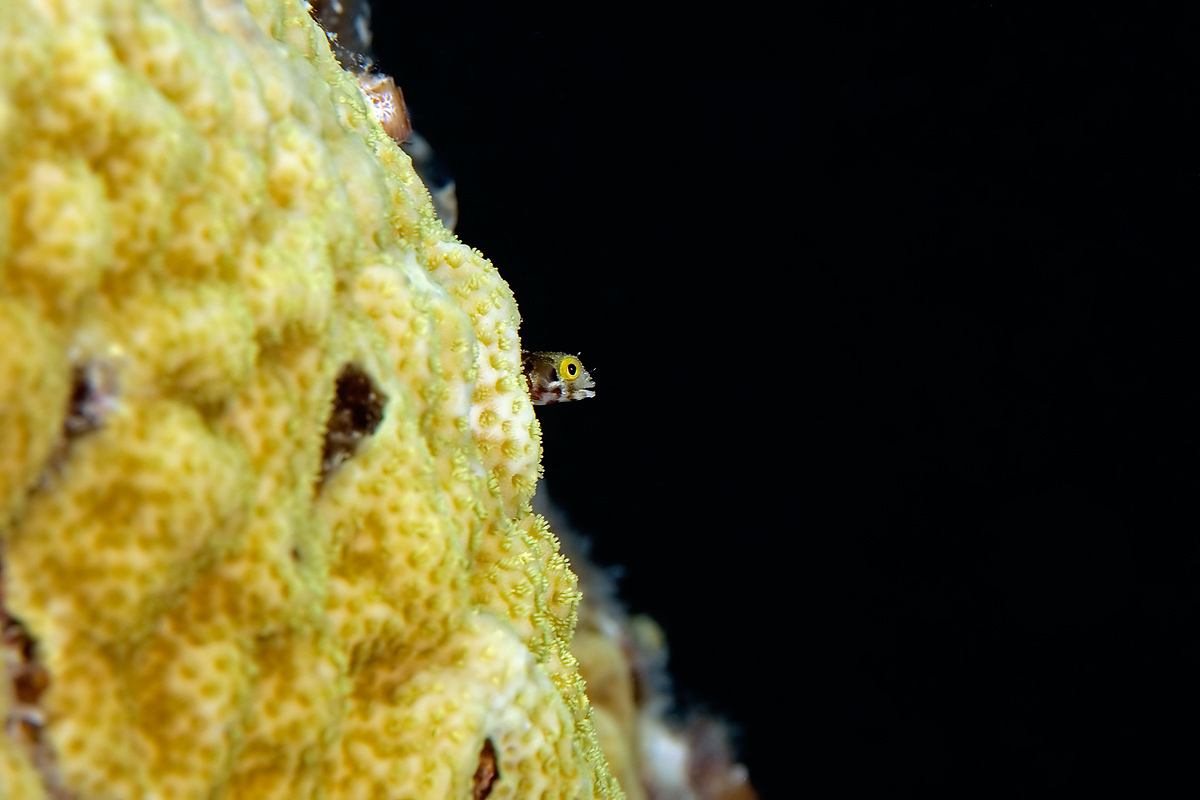 In about 9 feet of water, near the top of one of the pier pilings, a Blenny pokes out of his coral home to feed on passing specs.