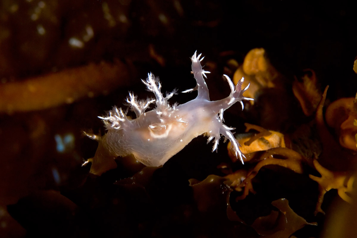 This unidentified species of Dendronotus was lit from below by a very powerful dive light, making him glow from the inside.