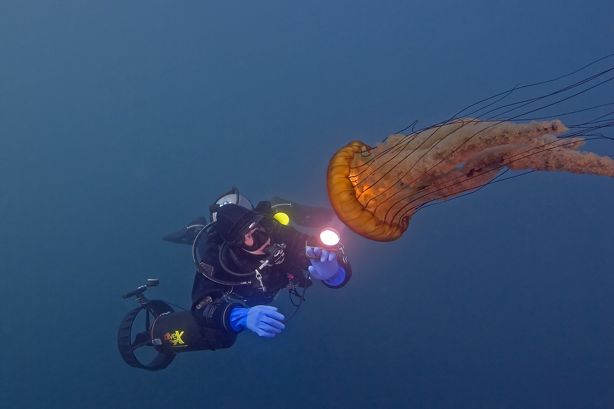 The diver lights up the bell of this large Sea Nettle with her powerful HID diving light.