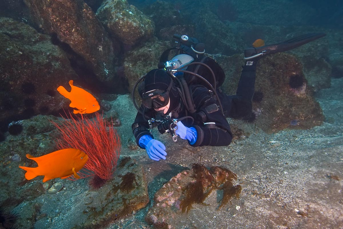 A pair of Garibaldi's are just as interested in this diver as the diver is in them.