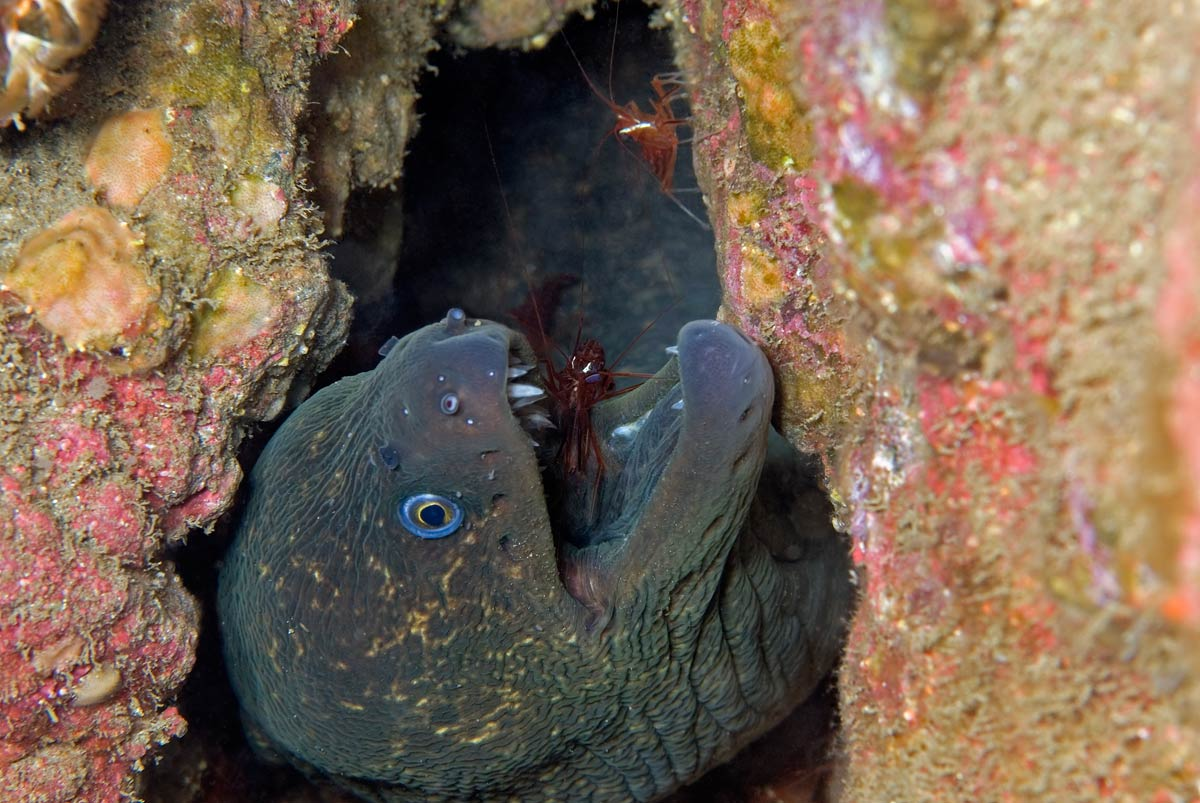 This Moray is looking out of his home, which he shares with his personal dentists - the red cleaner shrimp.