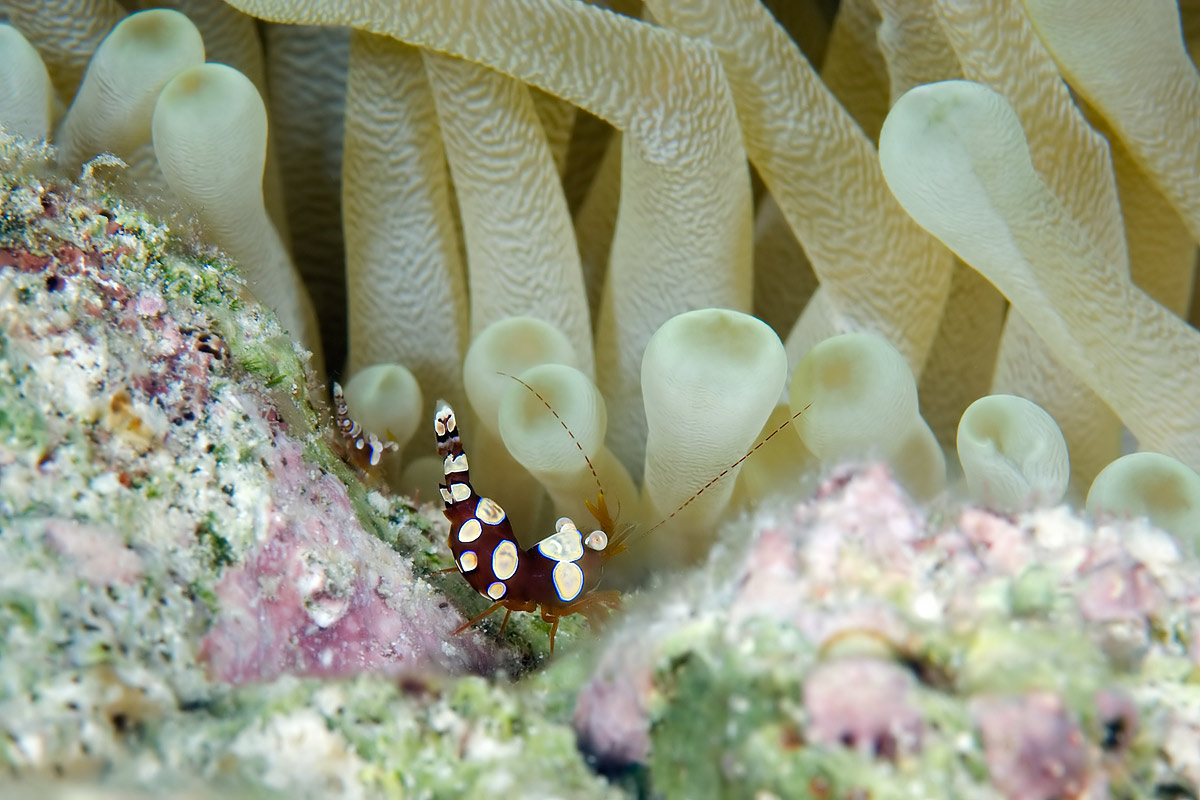 These small shrimp lived in large numbers on the white anenomes.  Sometimes I'd see 7 to 12 on one anemone.