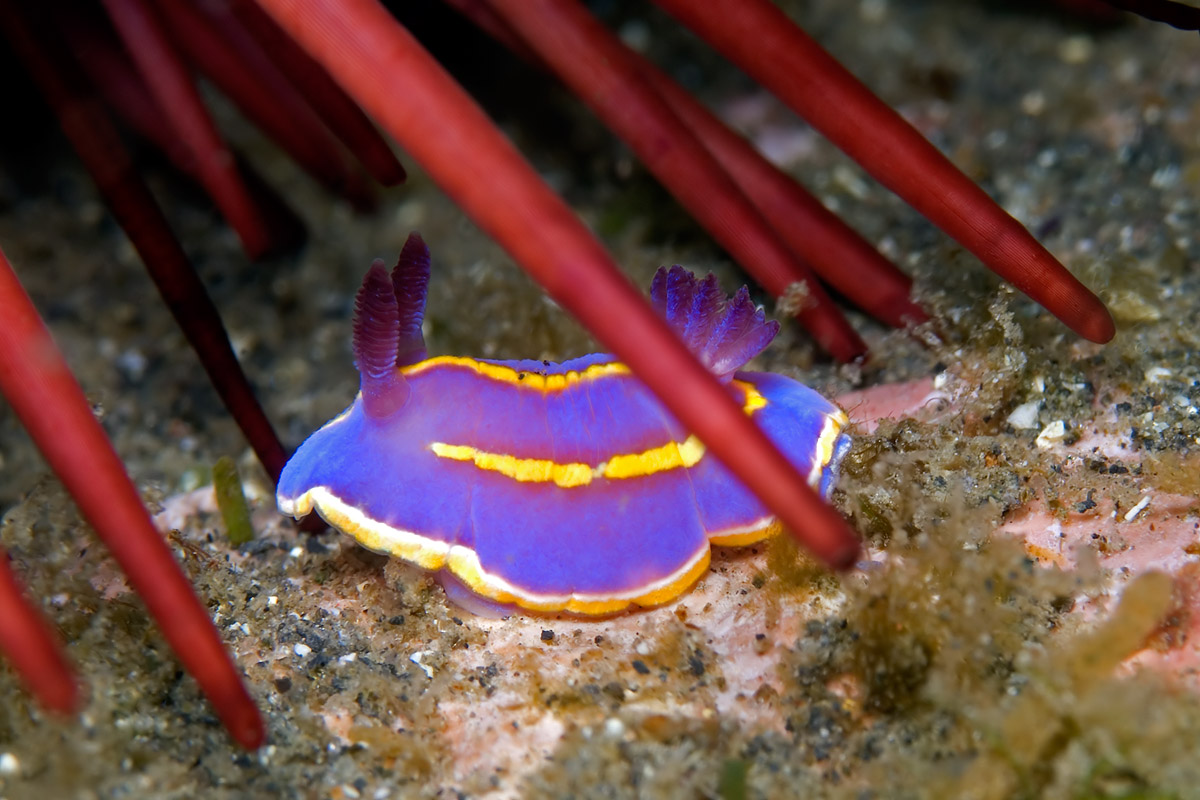 This tiny blue Nudibranch was resting under a red urchin.