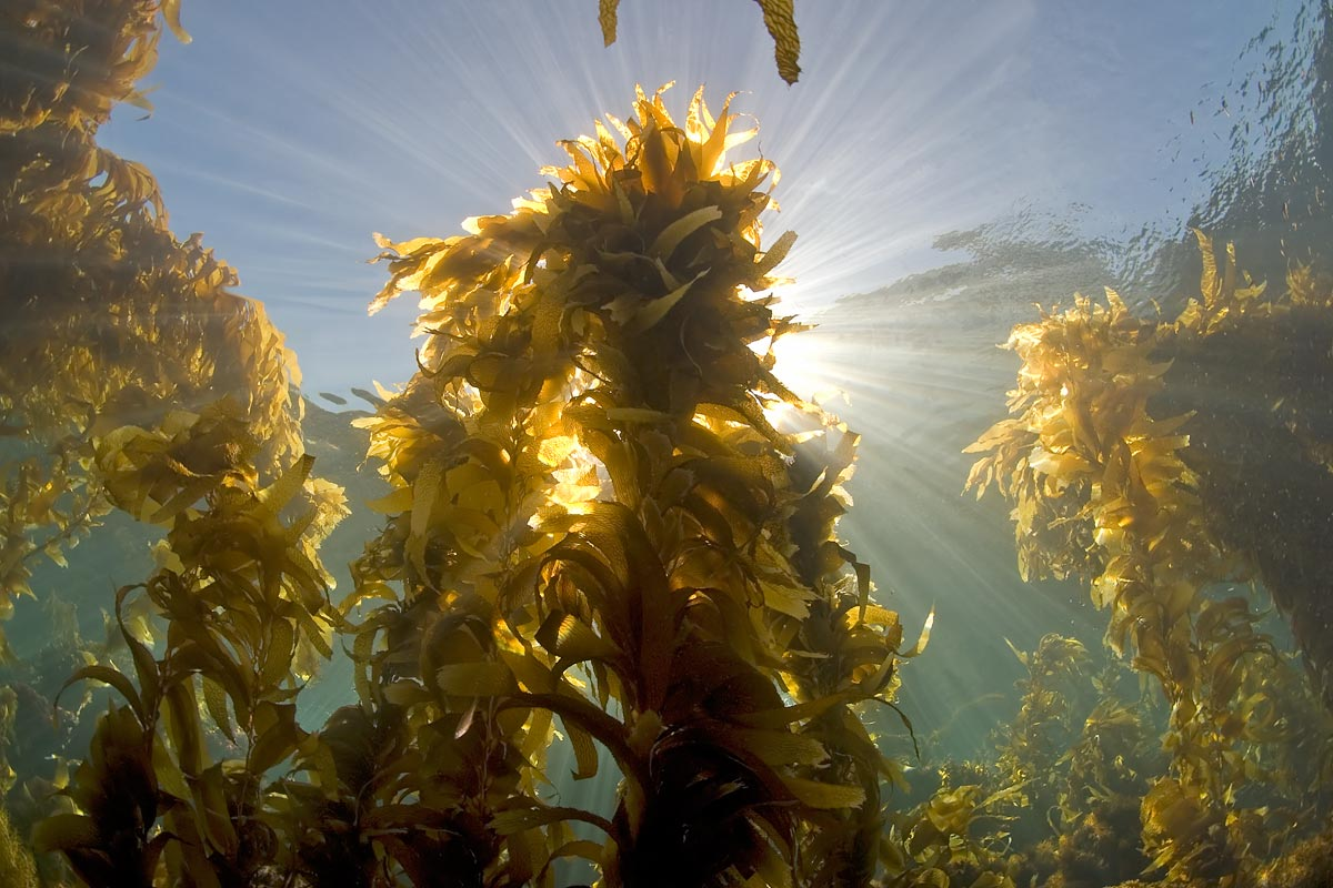The Giant kelp grows along California's coastline like it grows nowhere else in the world.  Its golden color casts a beautiful hue in the cool Southern California waters.