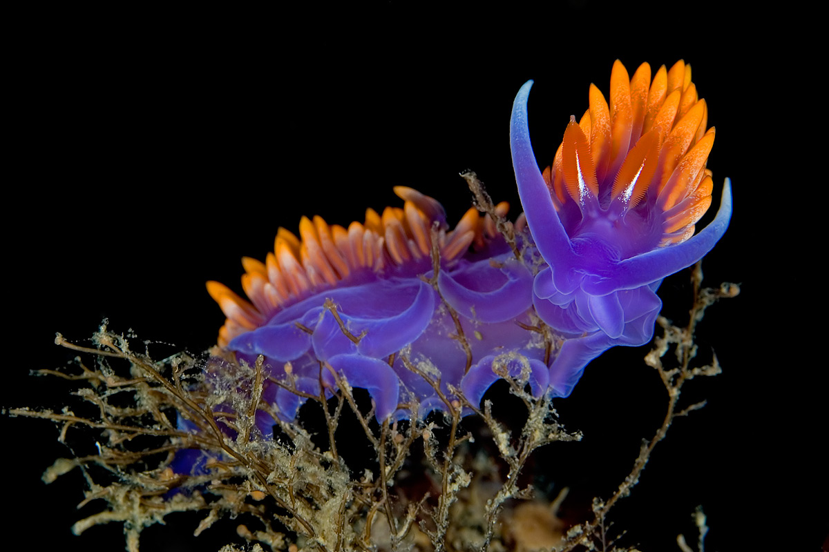 One of the most common SoCal Nudibranchs.