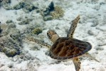 About the size of a dinner plate, I gave chase with my 105mm macro lens over the white sand of a Bonaire reef.
