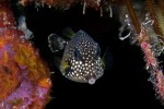 This Smooth Trunkfish is in the 'teen' phase, between the cute juvenile and slow adult phase.