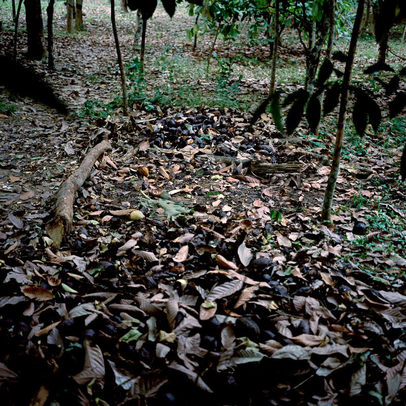 Rotten cocoa pods on a plantation in Faye, Ivory Coast.