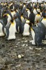 King penguins with egg on South Georgia Island