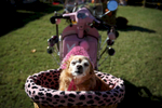 November 8, 2015 - Mozart the chihuahua sits in the basket of a Vespa scooter after competing in a lip synching contest with owner Pam Mackey during the 12th annual Harbor Town dog show. Pets and their owners competed in a variety of events including least obedient, most glamorous, best rescue dog, best costume, tail wagging, best trick and best float along with silent auctions with all proceeds from the event benefitting the Humane Society of Memphis and Shelby County. (Mike Brown/The Commercial Appeal)