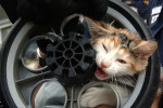 Angelica, a four month old kitten, gets her head stuck in a baby stroller wheel in Queens on August 30, 2006. She was later freed from the wheel by ESU officers.