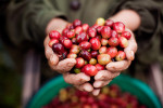 Coffee cherries, Bolaven Plateau