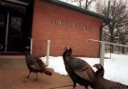 Turkeys, Pennsbury Manor