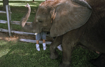 Elephant, Southampton, PA